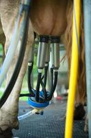 Automatic milking cow
