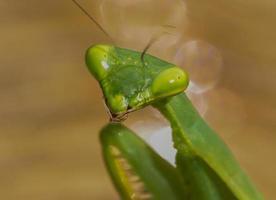 mantid verde común foto