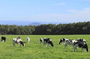 vaca en campo foto
