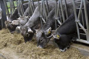 les vaches mangent des aliments