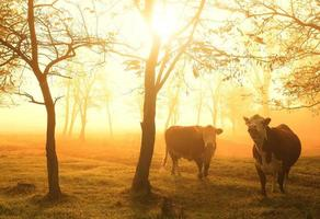 Cows on pasture photo