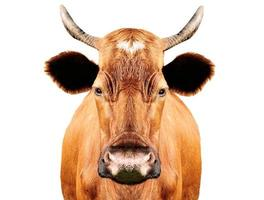 brown cow photo