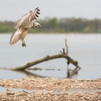Common blonde buzzard landing