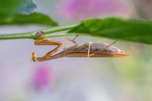 Gottesanbeterin, Praying mantis photo