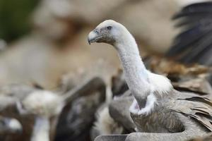 Griffon vulture portrait with others in background
