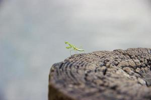 Bright green praying mantis perched on wooden fence post