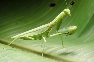 en las hojas verdes de la mantis religiosa.