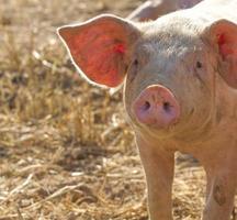 cerdo foto