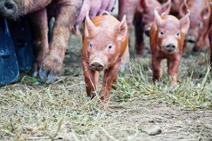 Tamworth piglets running on grass