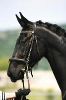 Side view portrait of a beautiful black colored stallion