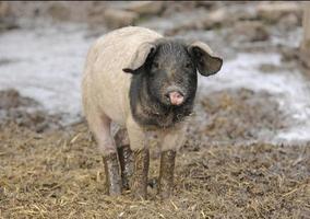 Pig photo