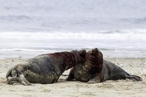 Grey seals fighting photo