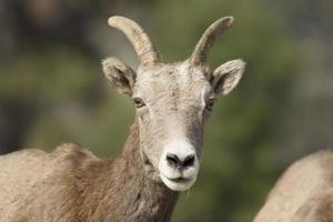 Close up portrait of bighorn sheep.