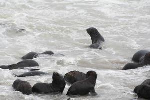 Colonia de lobos marinos marrones en Cape Cross, Costa del esqueleto, Namibia foto