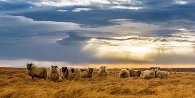 Herd of sheep in field