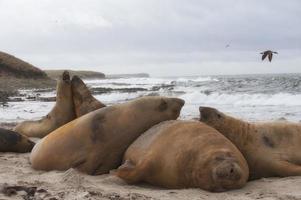 elefantes marinos en la playa foto