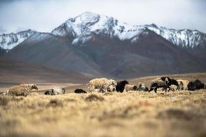 Muchas ovejas caminando en el fondo del Himalaya. foto