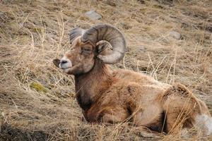montaña rocosa ovejas con cuernos grandes