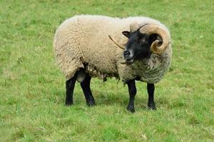 black headed ram standing field