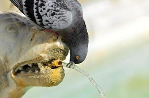pigeon in the fountain