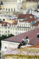 Pigeon on rooftop in Lisbon