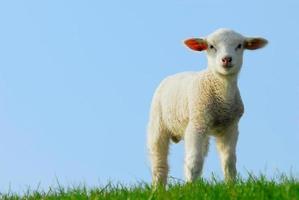 agneau, debout, vert, herbe, devant, bleu, ciel