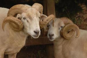 carnero de cuerno de Wiltshire foto