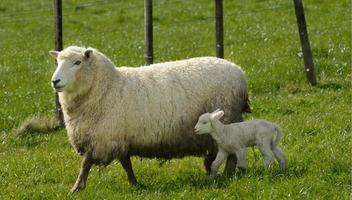 madre oveja y su cordero en una granja de ovejas foto