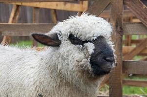 adorable agneau en duvet oxford laineux