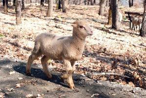 agneau mignon fier