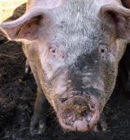 Pig snout photo