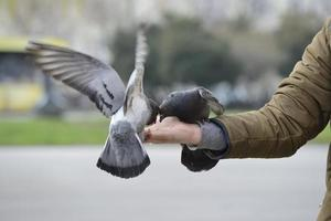 Two pigeons feeding on man's hand outside in a park