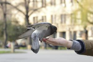 One pigeon feeding on man's hand outside in a park