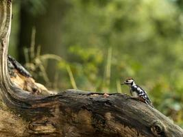 Juvenile Great Spotted Woodpecker (Dendrocopos major)