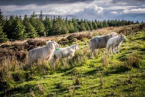 mouton, agneau, irlanda foto
