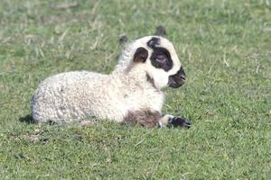 curious little lamb photo