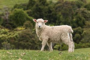 agneau vigilant
