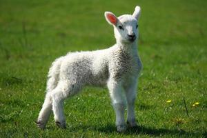 young lamb on green meadow photo