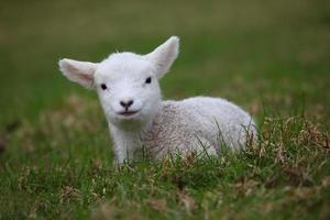 Spring lamb photo