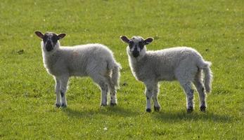 Two cute lambs photo