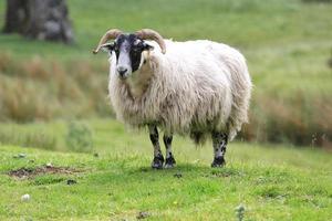 Ram on the meadow
