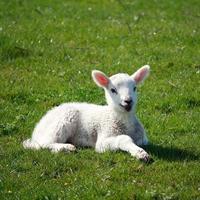 newborn lamb on spring meadow photo