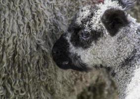 Baby lamb Cuddles mother sheep