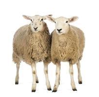 dos ovejas contra el fondo blanco foto