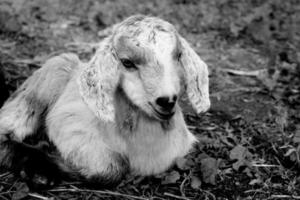Lamb photo