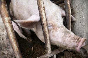 Dirty pig. photo