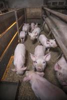Little pigs photo