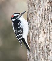Male Hairy Woodpecker in Winter