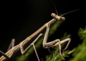 mantis religiosa (juvenil) foto