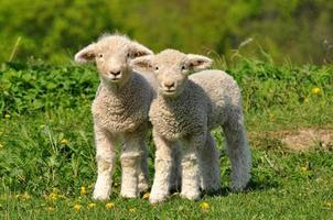 dos lindos corderos foto
